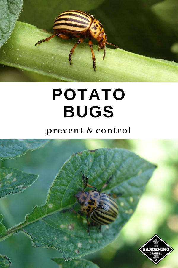 Potato Bugs How To Prevent And Control Potato Bugs Pests Pest Control