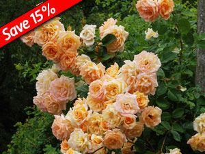 Elegant Climbing Rose Garden Sun Has Cheery Yellow Flowers That Bloom All Summer  Long