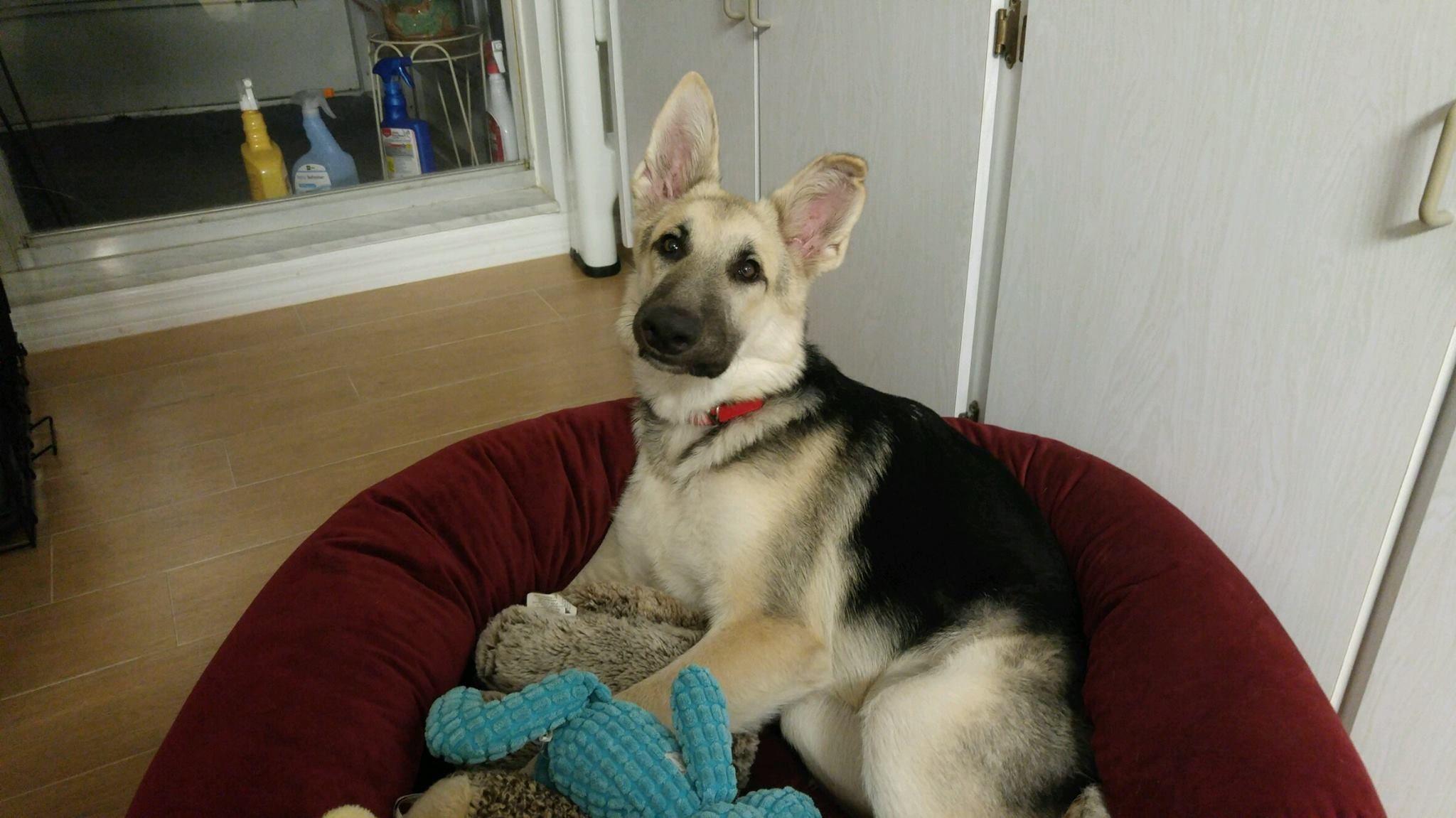 German Shepherd Dog dog for Adoption in Lithia, FL. ADN