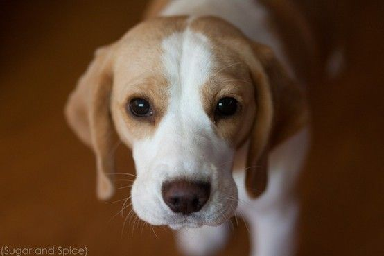 I've always wanted a Beagle like this!