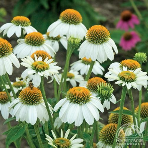 White Coneflower Echinacea Purpurea Powwow White An All America Selections Award Winner This Select Flowers Perennials Echinacea Flower Garden