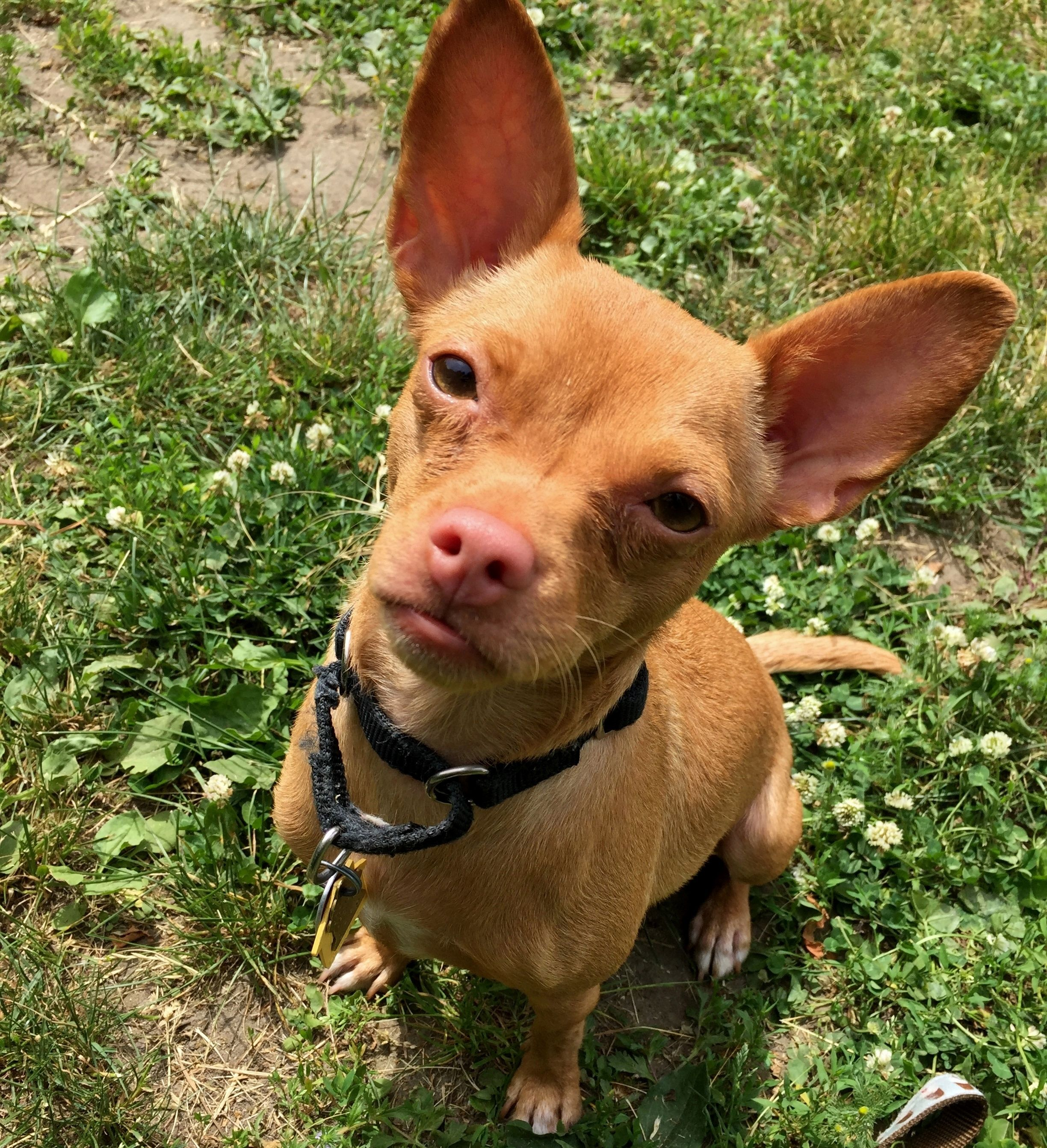 HAZEL is an adoptable chihuahua searching for a forever