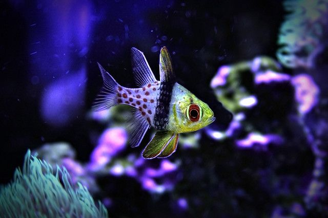 Pajama Cardinal Saltwater Tank Reef Tank Salt Water Fish