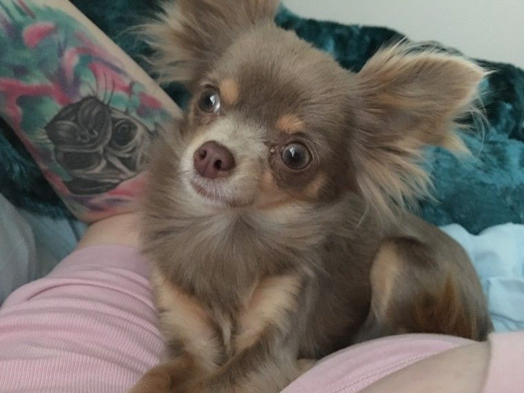 Rare Long Haired Female Lilac Chihuahua Chihuahua Chihuahua