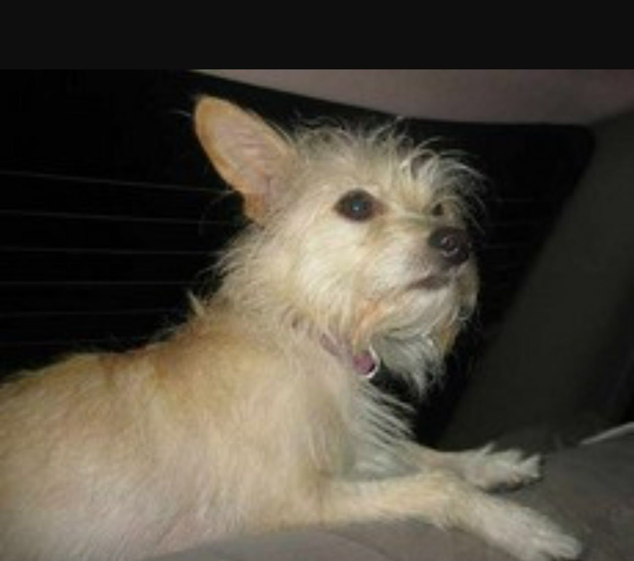 Adopt Tilly On Wire Fox Terrier Terrier Mix Fox Terrier