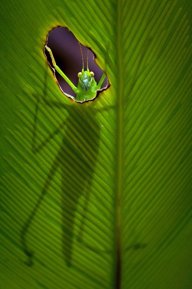 A grasshopper plays hide and seek with a photographer as he peeps through a hole in a big green leaf. (Steven Passlow/Caters News)