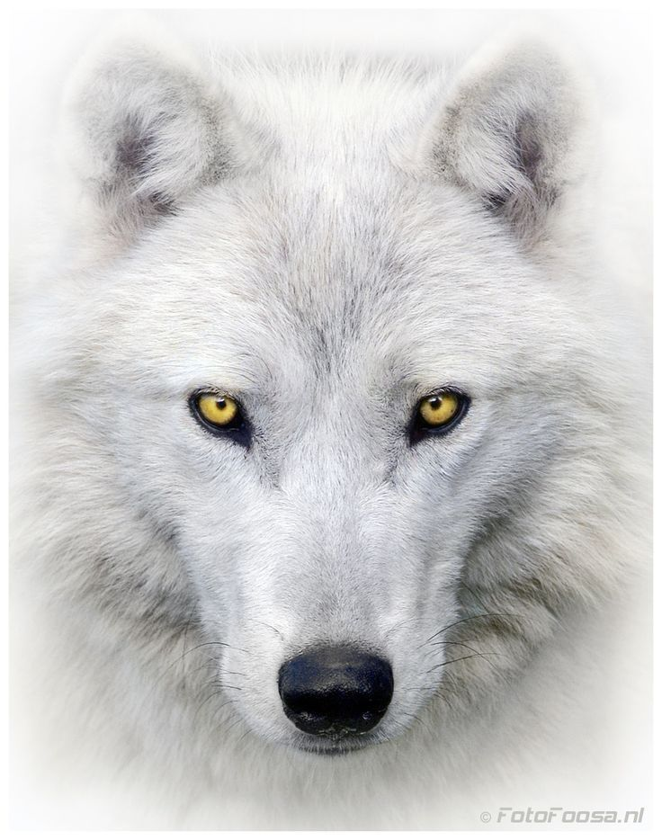 white wolf by foto foosa white wolves wolf arctic. Black Bedroom Furniture Sets. Home Design Ideas