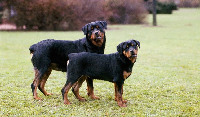 Managing Rottweiler Health Rottweiler Dog Breed Rottweiler Dog