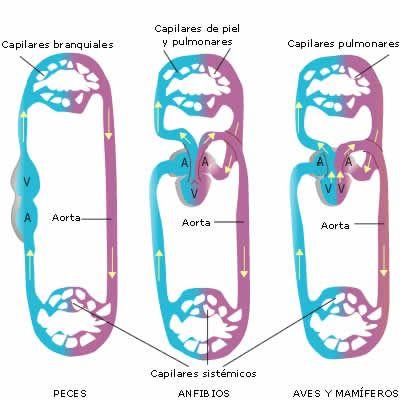 Aparato Circulatorio Abierto Y Cerrado Buscar Con Google Anfibios Mamiferos Aparato Circulatorio