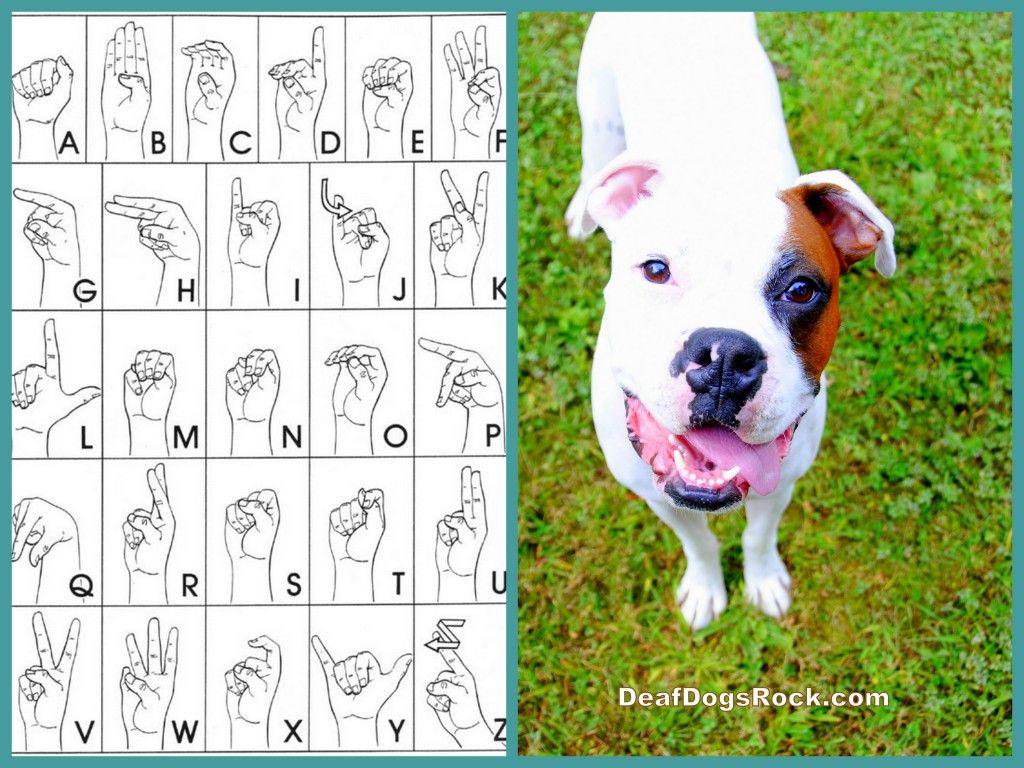 Beginning Sign Training Deaf Dogs Rock With Images Deaf Dog
