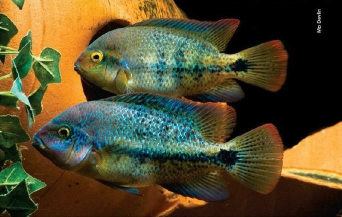 Paratheraps Sp Coatzacoalcos Cerca Con Google Aquarium