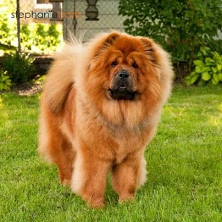 Chow Chow Puppy Dog Dogs Puppies