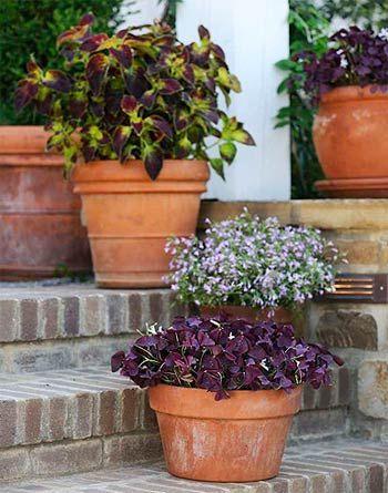 Plants for shade garden containers: Charmed Wine Oxalis, ColorBlaze Dipt in Wine Coleus, Lucia Lavender Blush Lobelia