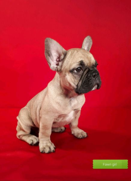 French Bulldog Puppies Dogs Puppies For Rehoming Markham
