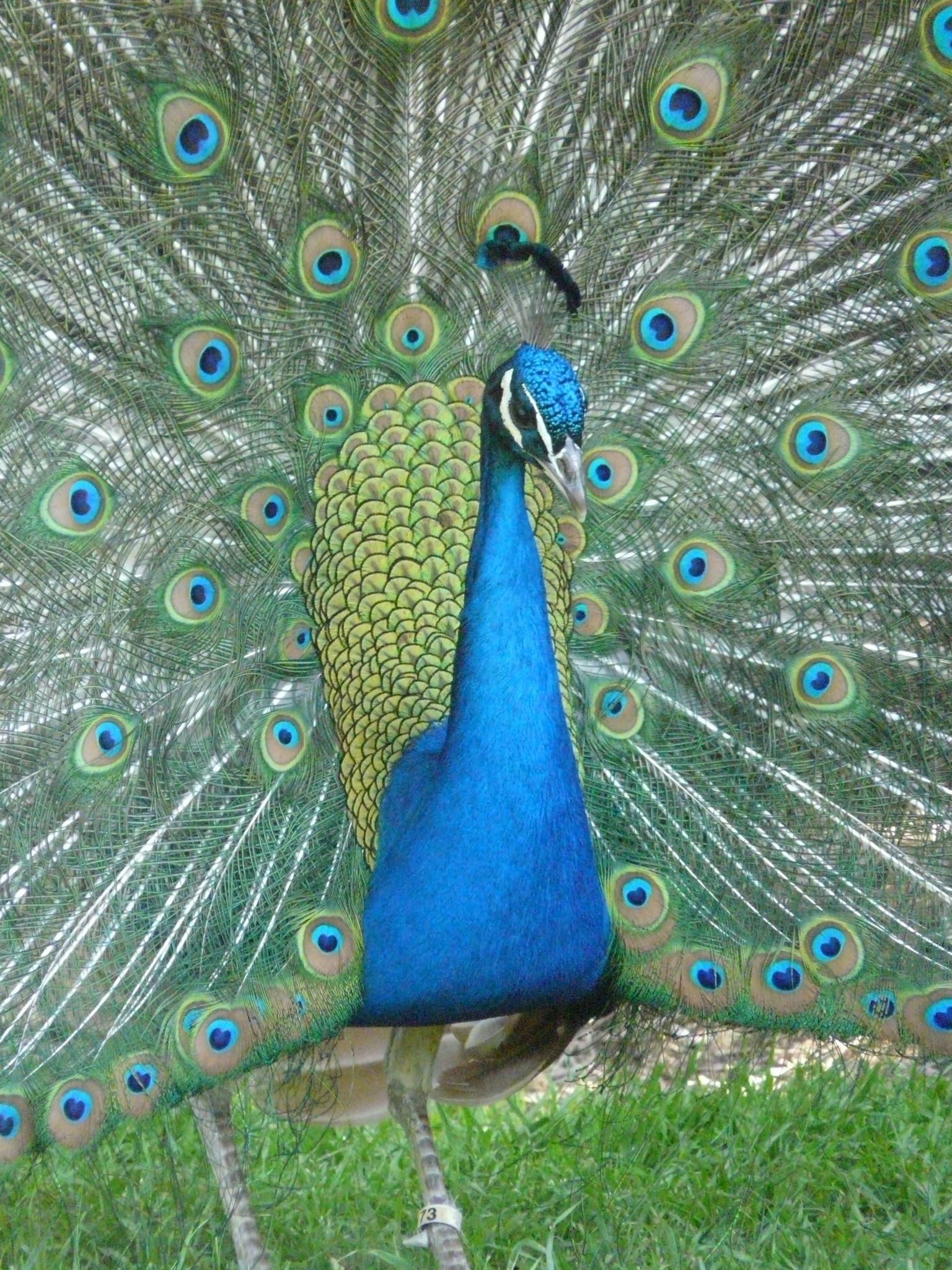 Peacock LA