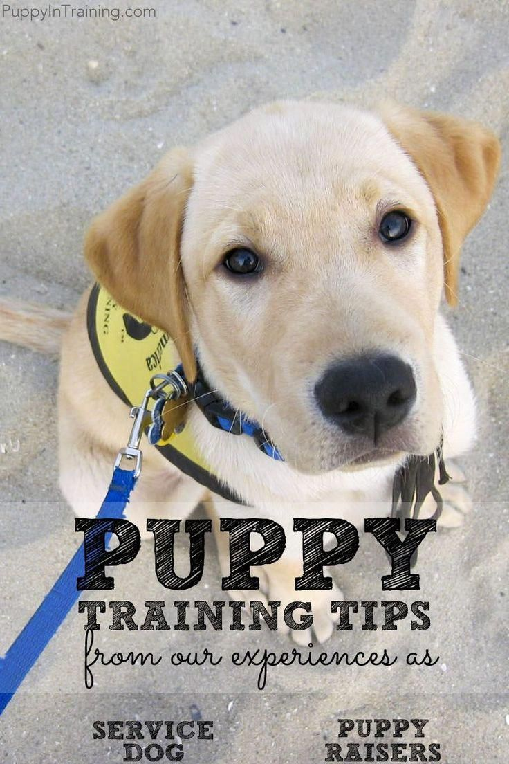 Puppy Training Tips From Our Experiences As Service Dog Puppy