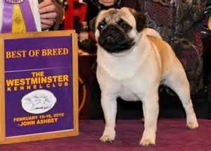 Image Search Results For Westminster Dog Show Toy Pug