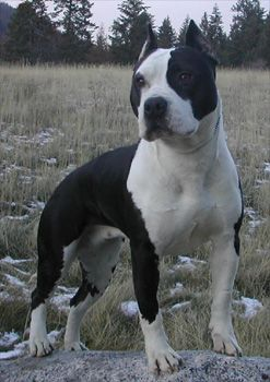 Black And White American Staffordshire Terrier Get Dog Pictures In Your Email Daily Dog Breeds Terrier Dog Breeds Staffordshire Terrier