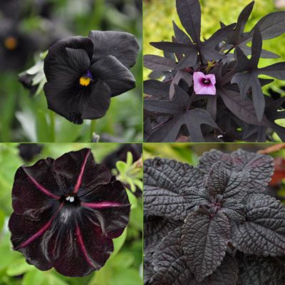 Almost Black Plants And Foliage Clockwise From Top Left Magic Viola