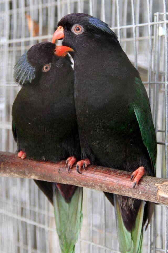 Black parrots!