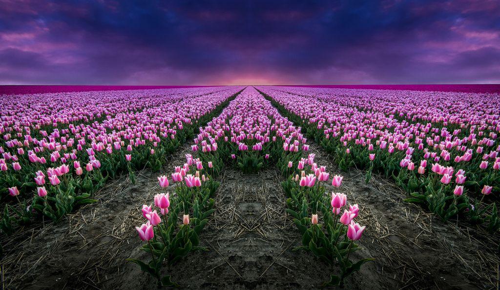 Tulips In Darkness by Mario Visser