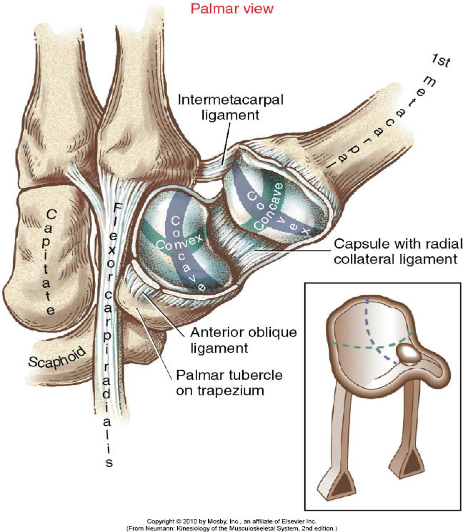 deep anterior oblique ligament thumb - Google Search | HAND/WRIST ...