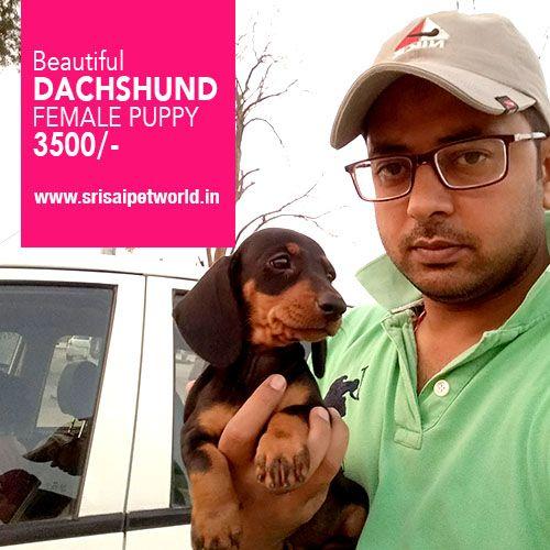 Get Dachshund female puppy in Delhi, Noida, Gurgaon