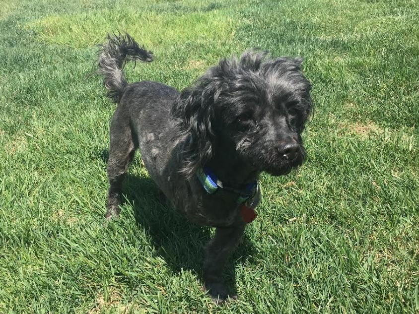 Shih Poo Dog For Adoption In Baltimore Md Adn 530135 On Puppyfinder Com Gender Male Age Young Animal Shelter Design Dog Adoption The Shelter Pet Project