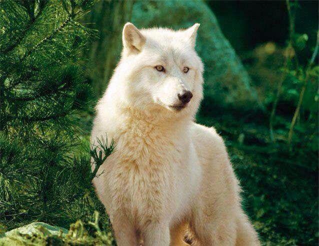 Red Wolf Size Comparison Other Wolf Species - Bayar ...