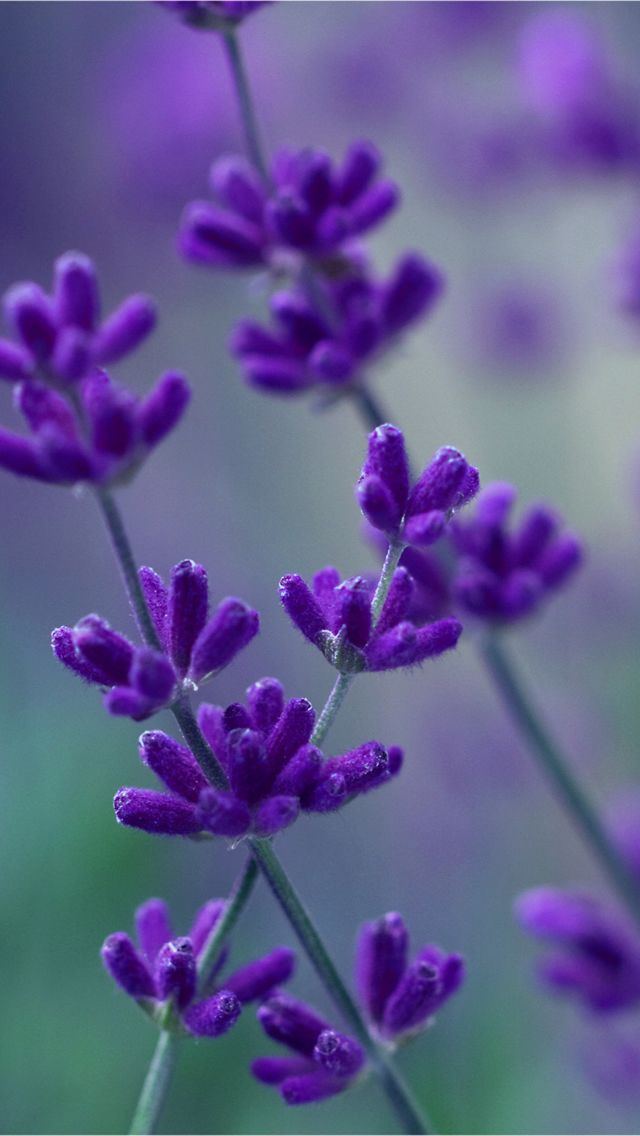 Lavender Iphone 5 Wallpaper Hd Wallpapers Source Purple Flowers Wallpaper New Flower Wallpaper Purple Flowers Garden