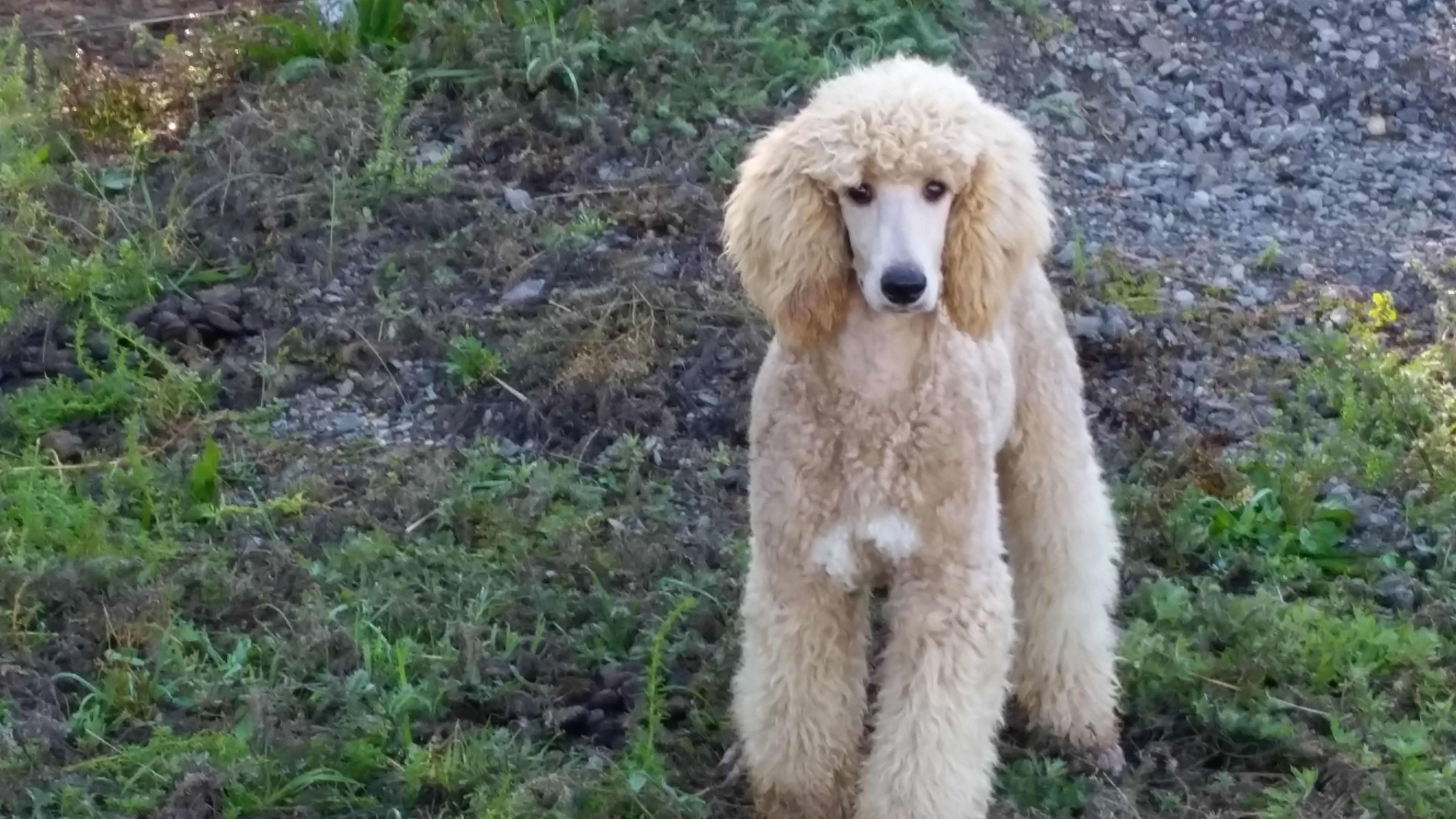 Appricot Abstract Standard Poodle Cavapoo Puppies