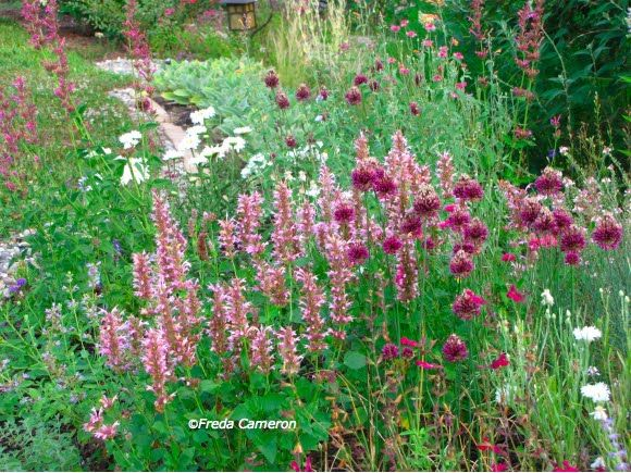 Allium sphaerocephalon in an area of agastache 'Cotton Candy'