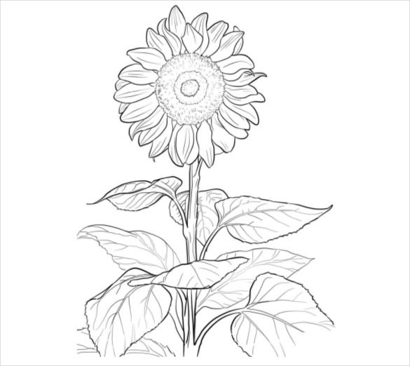 21 Flower Coloring Pages Psd Ai Vector Eps Sunflower