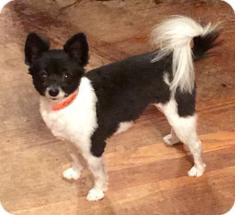 Chicago Il Chihuahua Rat Terrier Mix Meet Max A Dog For