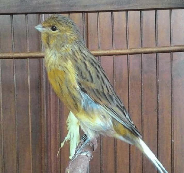 Mengetahui Karakter Dan Ciri Burung Kenari Isabel Burung Cantik Burung Jalak