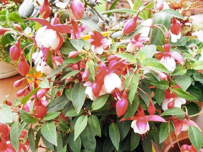 Flowering fuchsia