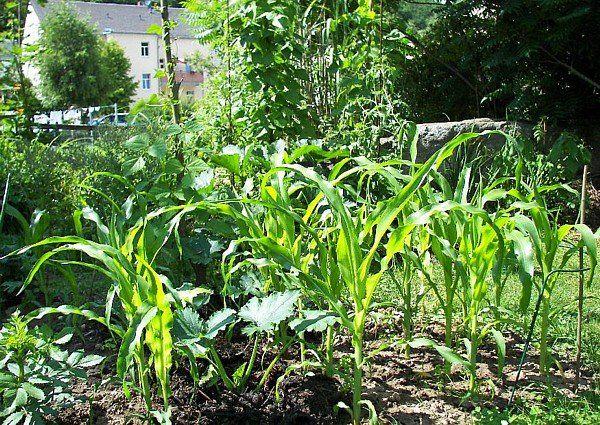 Indianerbeet Anlegen Aztekenbeet Milpa Drei Schwestern Bauerngarten Kurbis Pflanzen Bohnen Pflanzen
