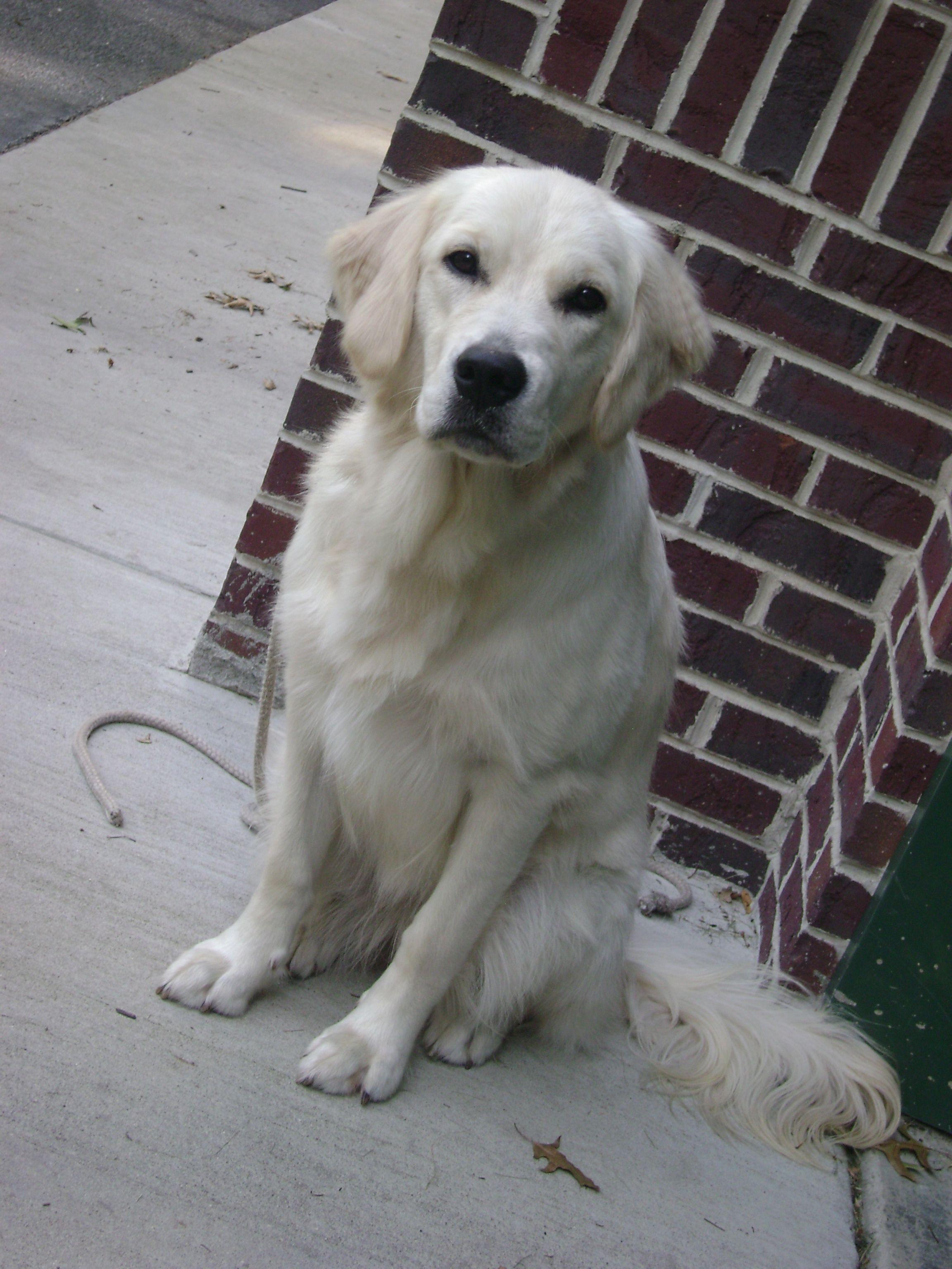 The Dog Of My Dreams An English Cream Golden Retriever Beautiful Dog Breeds English Retriever Beautiful Dogs