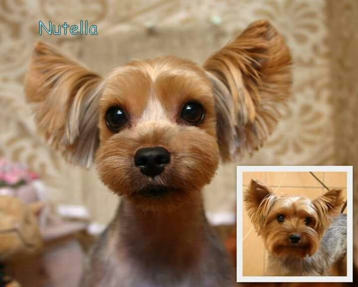 yorkie face trim my neighbor has two yorkies i m falling back in love but 5748