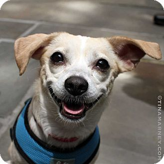 New York, NY Chihuahua Mix. Meet Terry!, a dog for
