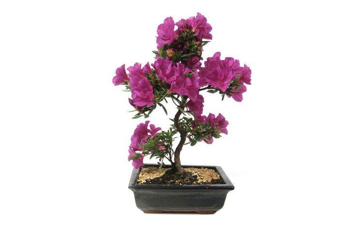 Quelle: hochzeitsbaeume.de - Hochzeitsbaum Japanische Azalee - hier gibt es weitere Informationen