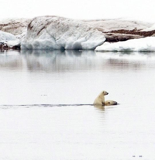 A beautiful picture of a polar bear cub getting a lift across the water from its mom!