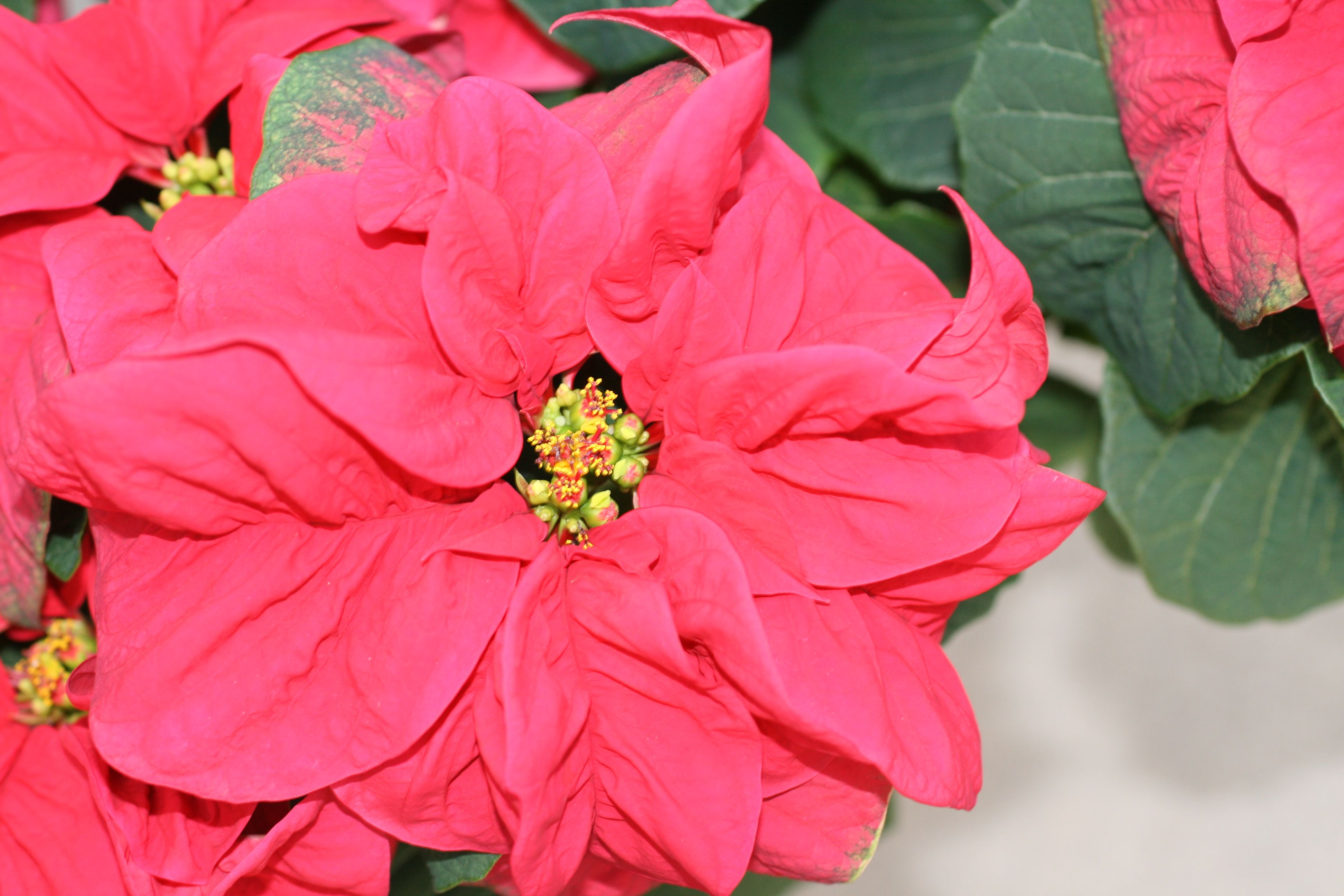 Don T Miss The Annual Uf Poinsettia Show And Sale Poinsettia Flowers Horticulture