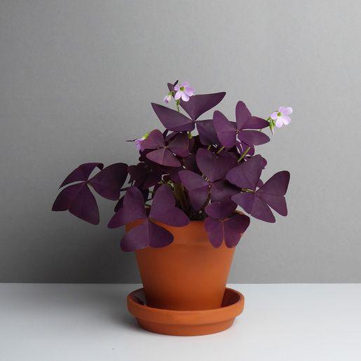 Oxalis triangularis #pflegeleichtepflanzen