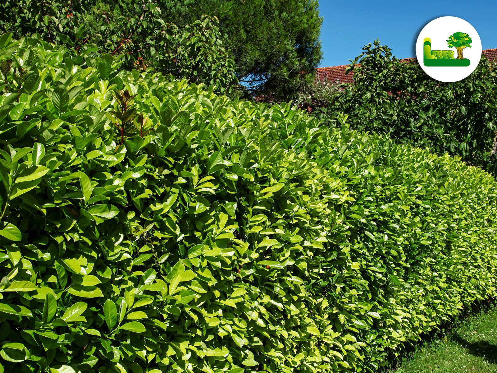 Kirschlorbeer Hecke Fur Ihr Zuhause Infos Bilder Garten Leber Blog Kirschlorbeer Hecke Kirschlorbeer Hecke Pflanzen