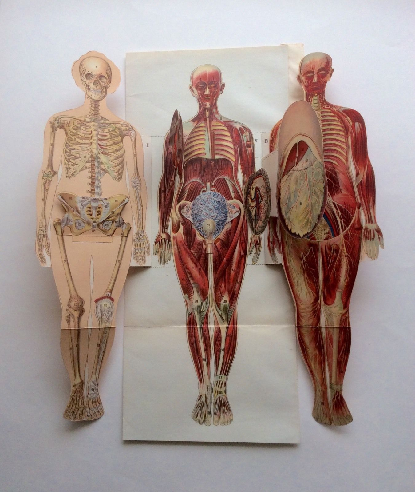 Vintage 1920s Medical Anatomy Diagram Fold Out Bookplate Woman Human ...