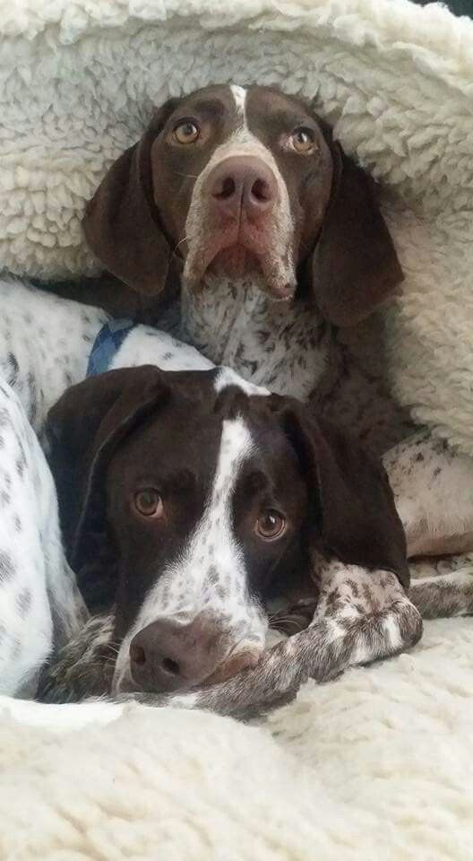 Pin By Sylvia On Animal German Shorhaired Pointer German Shorthaired Pointer German Shorthaired Pointer Dog German Dogs