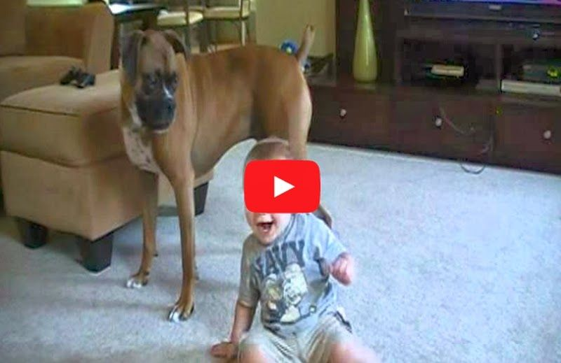 Boxer giving Baby Kisses - Why boxers are the best dogs for kids - Must Watch Video