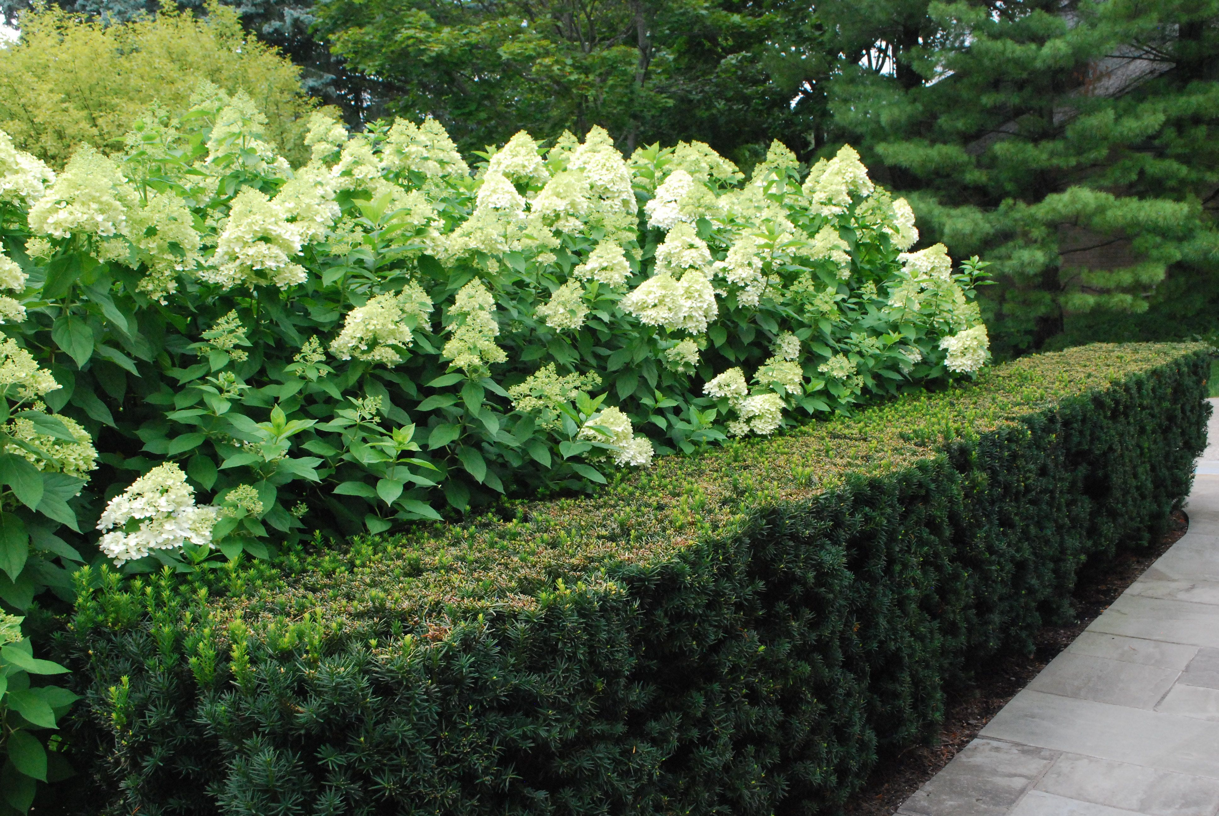 Low Hedge Yew Limelight Hydrangea 566 Planting Limelight Hydrangea Courtyard Landscaping Hedging Plants