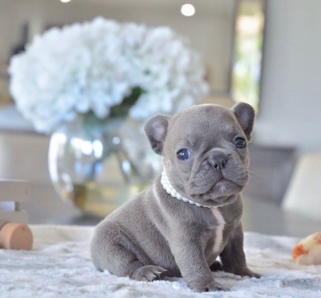blue female puppy from Poetic Frenchies French bulldog